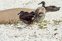 endemic Hawaiian monk seal, Neomonachus schauinslandi ( Critically Endangered Species ), resting on beach while shedding skin and fur during annual molt or molt, reacts to intruding black-footed albatross, Phoebastria nigripes, East Island, French Frigate Shoals, Papahanaumokuakea Marine National Monument, Northwest Hawaiian Islands, USA ( Central Pacific Ocean )