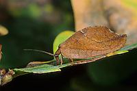 Blattlauslöwe, Totes Blatt, Drepanepteryx phalaenoides, Blattlauslöwen, Taghafte, Taghaftee