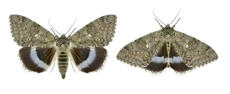 Clifden Nonpareil - Catocala fraxini