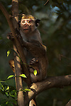 A female toque macaque keeps watch for danger from a tree top. Archaeological reserve, Polonnaruwa, Sri Lanka. IUCN Red List Classification: Endangered