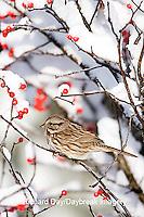 01575-018.03 Song Sparrow (Melospiza melodia) in Common Winterberry (Ilex verticillata) in winter, Marion Co. IL