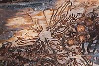 Kupferstecher, Frassbild, Fraßbild an Fichte, Gewöhnlicher Kupferstecher, Sechszähniger Fichtenborkenkäfer, Sechszähniger Fichten-Borkenkäfer, Sechszähniger Borkenkäfer, Pityogenes chalcographus, sixtoothed spruce bark beetle, six-dentate bark beetle, spruce wood engraver, bostryche chalcographe