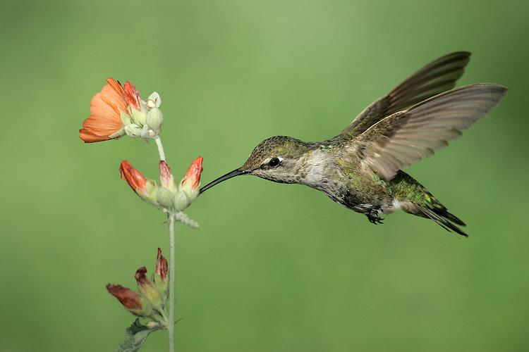 Anna's Hummingbird - Calypte anna - Adult female