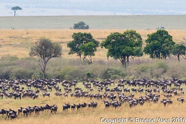 Wildebeast Migration3 Kenya 2015
