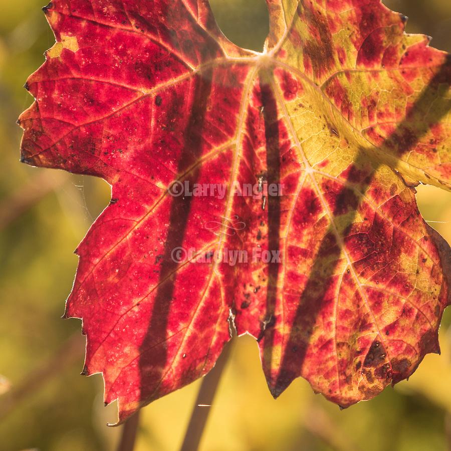 Cooper Vinyards colorful grape leaves in fall, Amador County, Calif.
