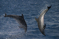 bottlenose dolphin, Tursiops truncatus, Azores Islands, Portugal, North Atlantic