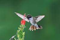 Black-chinned Hummingbird (Archilochus alexandri), male in flight feeding on Turk's Cap (Malvaviscus drummondii), Gila National Forest, New Mexico, USA