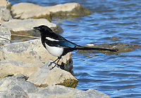 Black-billed Magpie - Pica hudsonia
