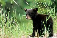 Black Bear cub, Alberta, Canada
