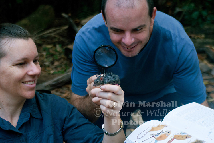 A young couple trying to identify what species of native rodent it could be. The Cape York Mosaic-tailed Rat, or Cape York Melomys (Melomys capensis) is a species of rodent in the family Muridae. It is found only in Australia.
