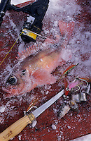 Amérique/Amérique du Nord/Canada/Quebec/Fjord du Saguenay : Pêche blanche - Sébaste, matériel de pêche et appats
