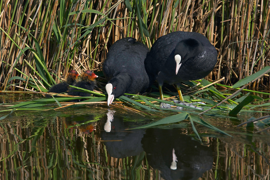 Coot (Fulica Atra), Texel, the Netherlands