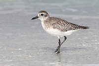 Grey Plover - Pluvialis squatarola. L 28cm. Plump-bodied coastal wader. Best known in winter plumage but breeding plumage sometimes seen in newly-arrived, or shortly-to-depart, migrants. In flight, note black 'armpits' on otherwise white underwings. Typically solitary. Sexes are similar. Adult in winter looks overall grey but upperparts are spangled with black and white and underparts are whitish. Legs and bill are dark. In summer plumage, has striking black underparts (sometimes rather mottled in females) separated from spangled grey upperparts by broad white band. Juvenile resembles winter adult but has buff wash to plumage. Voice Utters diagnostic, trisyllabic pee-oo-ee call, like a human wolf-whistle. Status Nests in high Arctic; coastal, non-breeding visitor to Britain and Ireland.