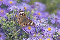 03411-01217 Common Buckeye (Junonia coenia) on Frikart's Aster (Aster frikartii) Marion Co. IL