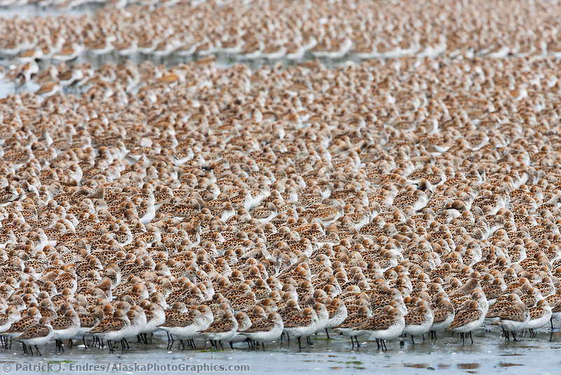 Flock of shorebirds, dominated by Western sandpipers flock to the shores of Hartney Bay, Copper River Delta, Prince William Sound, Alaska, to refuel during their migration to summer nesting grounds. of shorebirds, dominated by Western sandpipers flock to the shores of Hartney Bay, Copper River Delta, Prince William Sound, Alaska, to refuel during their migration to summer nesting grounds.