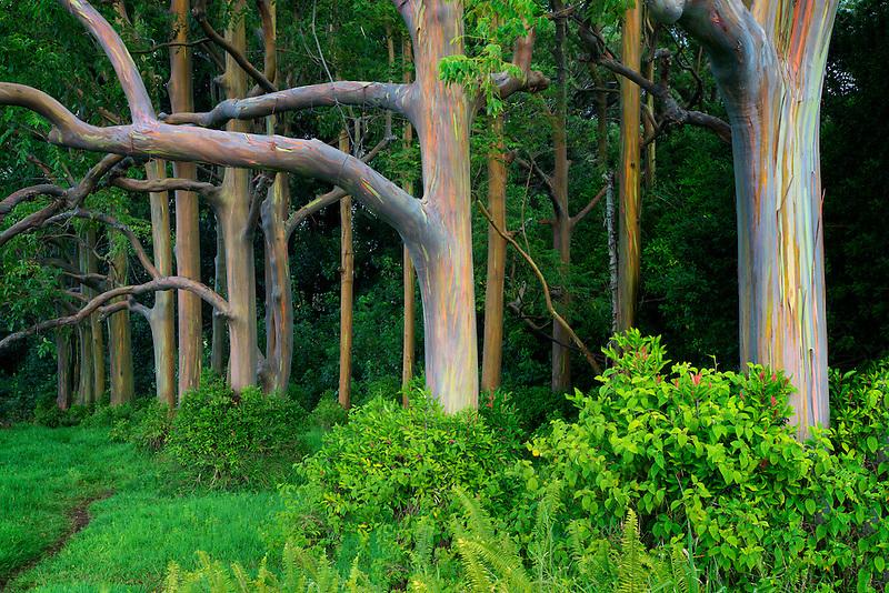 Path in Rainbow Eucalyptus (Eucalyptus deglupta). Maui, Hawaii