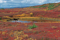 Bull Moose drinking in a kettle pond during the fall colors. Alces alces, Denali National Park