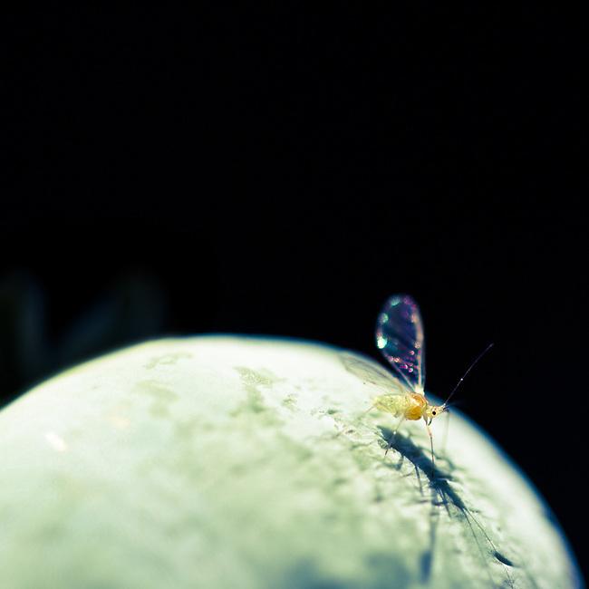 Poppy & Greenfly