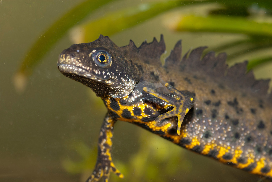 Grote watersalamander of Kamsalamander (Triturus cristatus)