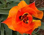 Spring flowers.  Rehboth Beach, Delaware, USA.  © Rick Collier