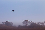 Wattled Crane (Grus carunculata) flying over floodplain, Busanga Plains, Kafue National Park, Zambia