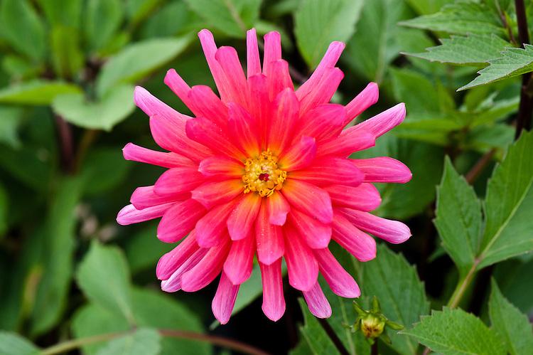 Dahlia 'Karma Fuchsiana', early August.