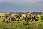 Kenya, Maasai Mara National Reserve, African bush elephant (Loxodonta africana)