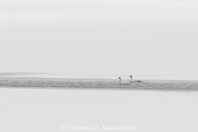 Two trumpeter swans float in a narrow band of open water on the Snake River in Grand Teton National Park, Wyoming.