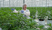 Françoise Lévesque, High Park Farms master horticulturalist, guides the media through a tour of the 13 acre cannabis operation on LaSalle Line, Enniskillen. When fully operational expected this fall  the greenhouse will require 200 employees to groom over 50 strains of  marijuana which originated in British Columbia.