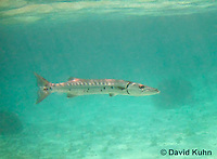 0110-1203  Great Barracuda (Giant Barracuda) in the Caribbean, Sphyraena barracuda  © David Kuhn/Dwight Kuhn Photography