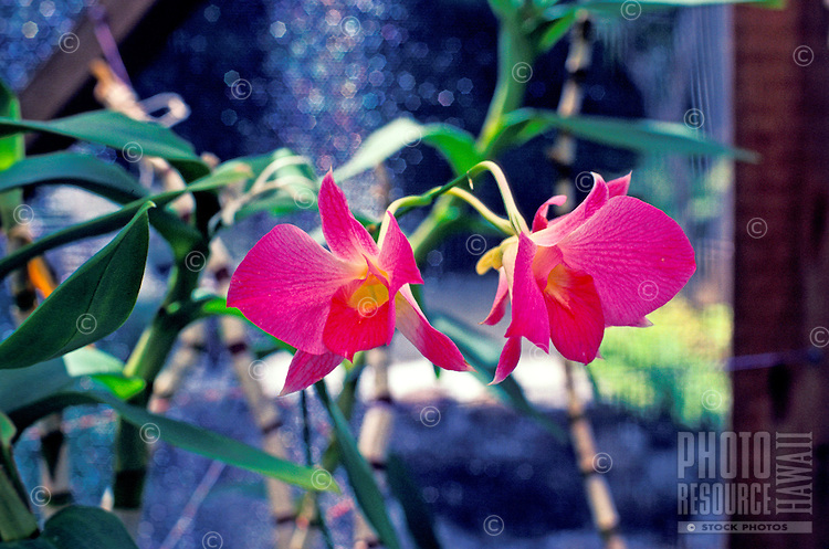 Vanda orchid plants with three pink blossoms