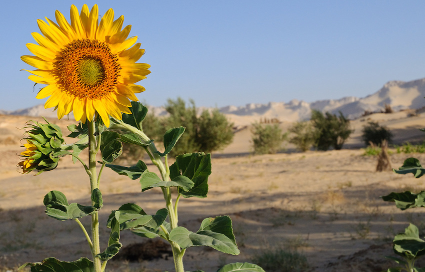 A sunflower grows at the micro-oasis of Qasr al Labakha, near Al Kharga