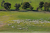 Herd of sheep grazing on a farm in Ronda, Andalusia, Spain.