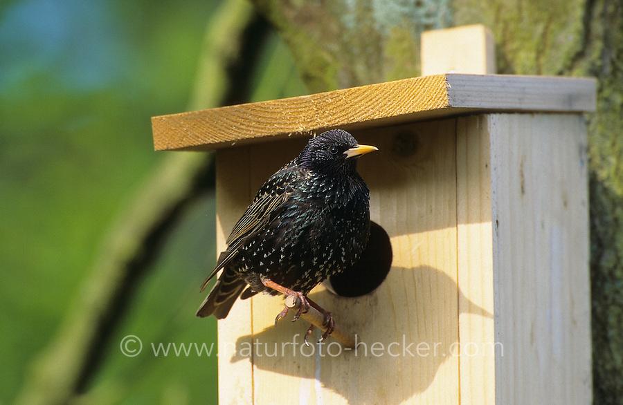 Star, sitzt an seinem Nistkasten, Sturnus vulgaris, European starling