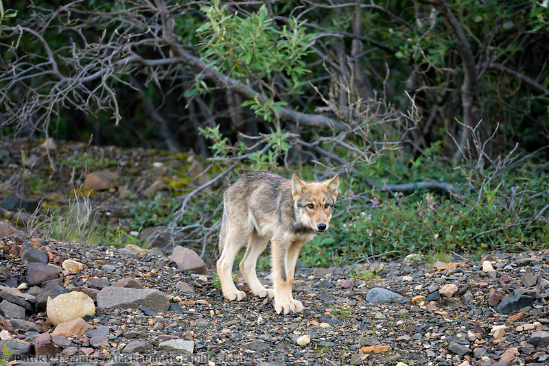 Gray wolf cub, Denali National Park, interior, Alaska.