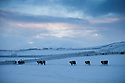 08/12/14<br /> <br /> Belted Galloway Cattle at dawn near Castleton.<br /> <br /> After overnight snowfall in Debyshire dawn reveals stunning snowscapes across the Peak District.<br /> <br /> ***ANY UK EDITORIAL PRINT USE WILL ATTRACT A MINIMUM FEE OF &pound;130. THIS IS STRICTLY A MINIMUM. USUAL SPACE-RATES WILL APPLY TO IMAGES THAT WOULD NORMALLY ATTRACT A HIGHER FEE . PRICE FOR WEB USE WILL BE NEGOTIATED SEPARATELY***<br /> <br /> <br /> All Rights Reserved - F Stop Press. www.fstoppress.com. Tel: +44 (0)1335 300098