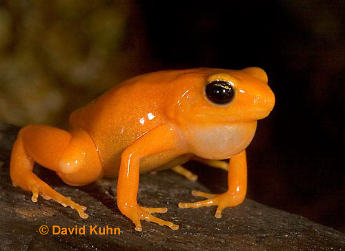 1102-07qq  Mantella aurantiaca - Golden Mantilla - © David Kuhn/Dwight Kuhn Photography