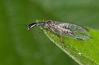 Kamelhalsfliege, Gefleckte Kamelhalsfliege, Weibchen, Phaeostigma notata, Rhaphidia notata, snakefly, Kamelhalsfliegen, Raphidiidae, Raphidioptera, snakeflies, snake flies