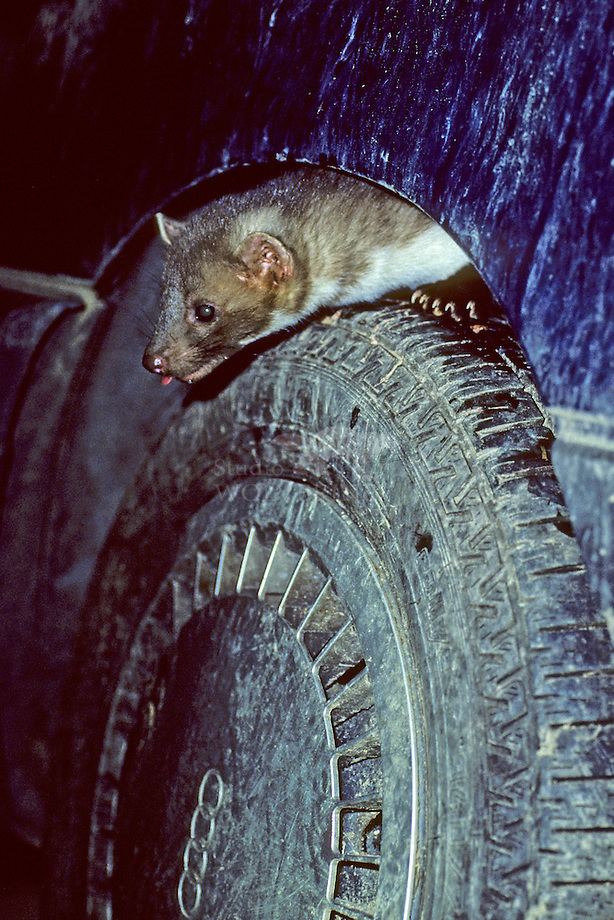 Steenmarter (Martes foina) in auto