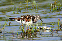 Adult ruddy turnstone coming into breeding plumage checks out the remains of a blue crab