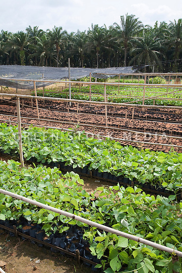Mucuna bracteata, a leguminous plant, is grown in the on-site nursery. The plant is used as a cover crop next young oil palm trees while they are being established on the plantation to prevent soil erosion (protects water resources), stop weeds (reduces chemical spraying), and fix nitrogen (increases soil fertility). The Sindora Palm Oil Plantation, owned by Kulim, is green certified by the Roundtable on Sustainable Palm Oil (RSPO) for its environmental, economic, and socially sustainable practices. Johor Bahru, Malaysia