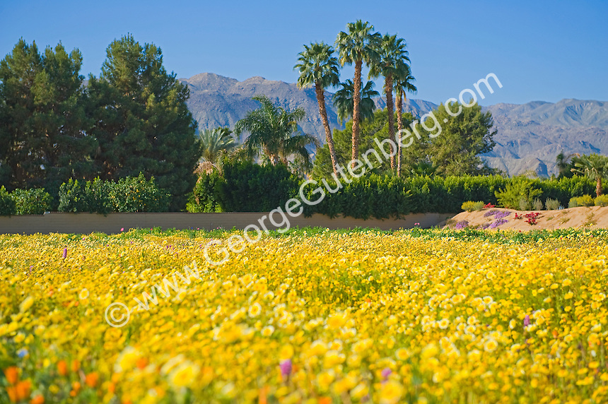 Foreground out of focus in shot of desert wild flower field
