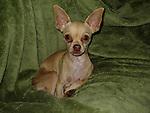 Chihuahua Hazel dob Nov.2009 5lbs female