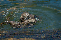 Northern River Otter (Lontra canadensis) kits/pups playing along edge of lake.  Western U.S., June..