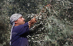A Palestinian man picks olives during harvest season at a farm in the south of Gaza city, On October 16, 2017. Photo by Atia Darwish