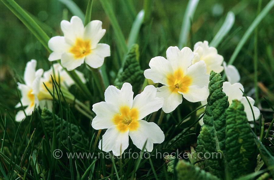 Stängellose Primel, Stängellose Schlüsselblume, Kissenprimel, Kissen-Primel, Primula vulgaris, Primula acaulis, common primrose, English primrose