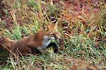 Red Fox running through grass in Denali National Park.