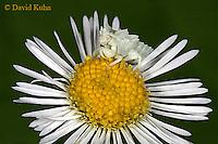 1020-06xx  Ambush bug nymph - Phymata spp. Virginia - © David Kuhn/Dwight Kuhn Photography