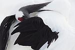 Japan, Hokkaido, red-crowned crane preening