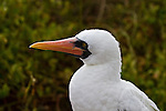 Close up of the pure white head and shoulders of a Nazca Booby, its black-masked, yellow eyes and long orangish-red beak against a blurred, multi-green and brown background.